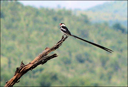South Africa - Pilanesberg National Park, pin-tailed whydah
