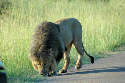 South Africa - Pilanesberg National Park, lion ahead of our car