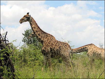 South Africa - Marakele National Park, giraffes