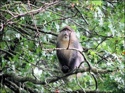 South Africa - Magoebas canyon, blue monkey