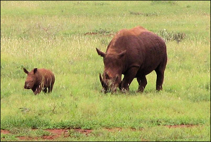South Africa - Hannah Game Lodge, white (brownish) rhino