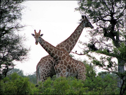 South Africa - Krugerpark, giraffes