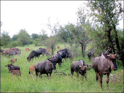 South Africa - Kruger Park, wildebeests and zebras