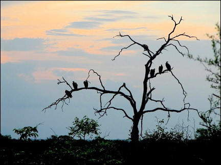 South Africa - Krugerpark, vultures at sunset