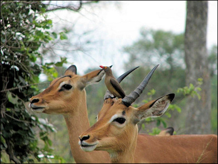 South Africa - Krugerpark, impala with red-billed oxpecker on its head