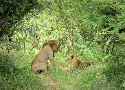 South Africa - Kruger Park, lions in love