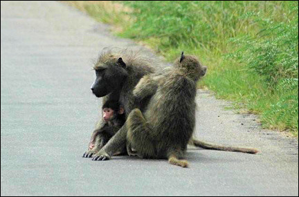 South Africa - Kruger Park, monkeys on the road