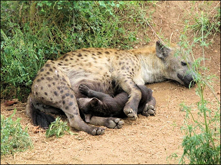 South Africa - Kruger Park, hyena with pup