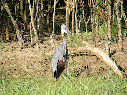 South Africa, Kwazulu-Natal - Goliath heron on the shore of Lake St. Lucia