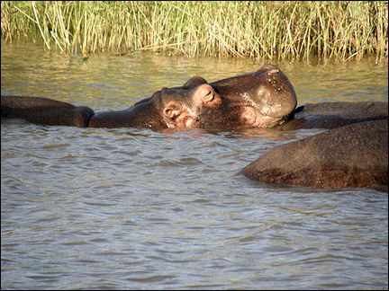 South Africa, Kwazulu-Natal - Smiling hippo in Lake St. Lucia