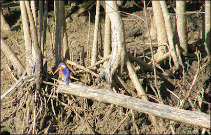 South Africa, Kwazulu-Natal - Kingfisher: a bright blue spot, Lake St. Lucia