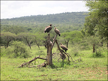 South Africa, Kwazulu-Natal - Vultures in Hluhluwe Umfolozi Game Reserve