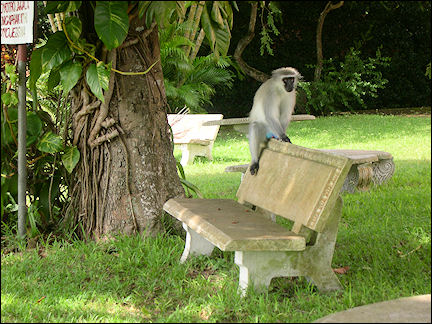 South Africa, Kwazulu-Natal - Velvet monkey on stone bench