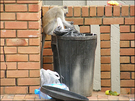 South Africa, Kwazulu-Natal - Velvet monkey on trashcan