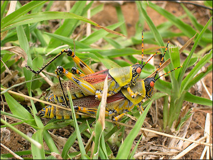 South Africa, Kwazulu-Natal - locusts in St. Lucia