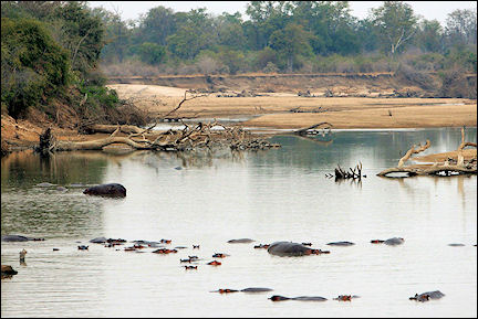 Zambia - Hippoes in the Luangwa