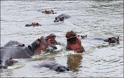 Zambia - Fighting hippoes in the Luangwa