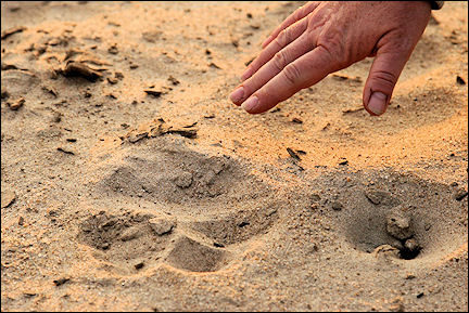 Zambia - Lion footprints around the tents