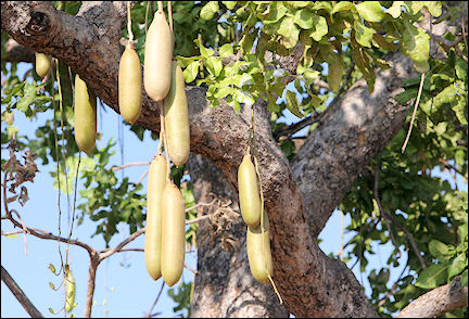 Zambia - Fruit of the sausage tree