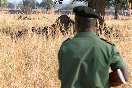 Zambia - Meeting with lions during a Game Walk with armed scouts